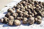 秋のジャガイモ「ニシユタカ」収穫