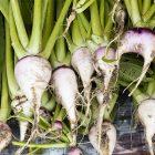 野沢菜の収穫